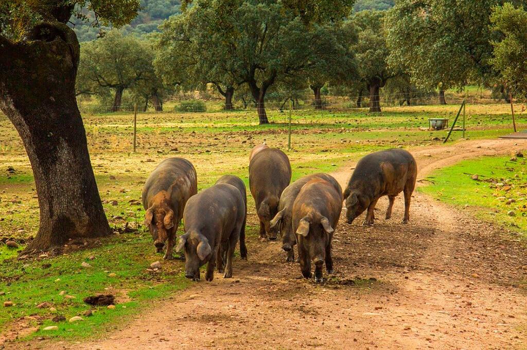 The iberian pig, Spain